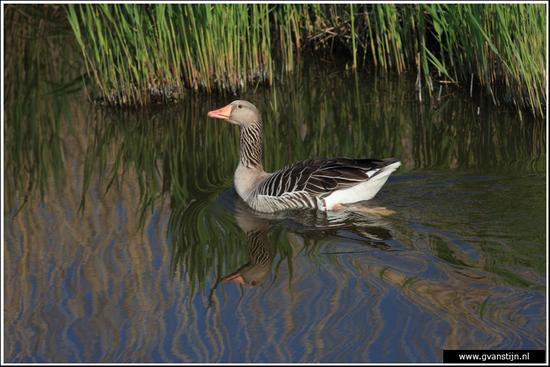 Vogels03 Grauwe gans<br><br>Schellinkhout IMG_5298.jpg