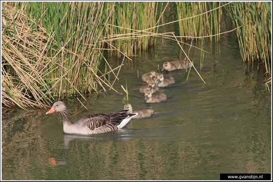 Vogels03 Grauwe gans met jongen<br><br>Schellinkhout IMG_5308.jpg
