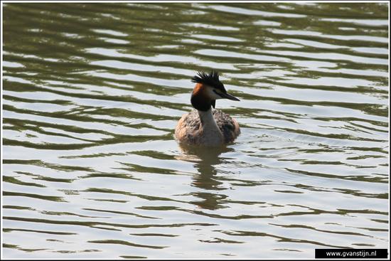 Vogels03 Fuut<br><br>Schellinkhout IMG_5320.jpg