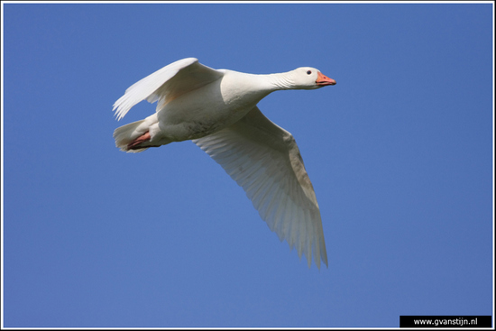 Vogels03 Gans<br><br>Schellinkhout IMG_5347.jpg