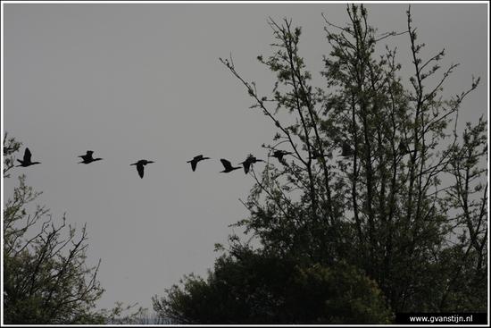 Vogels03 Groep aalscholvers<br><br>Onderdijk IMG_5356.jpg