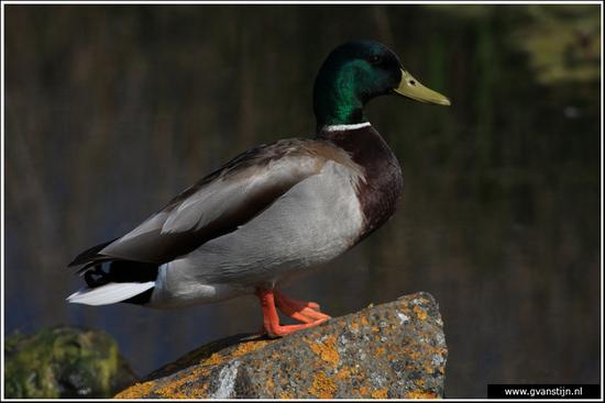 Vogels03 Wilde eend<br><br>Onderdijk IMG_5387.jpg