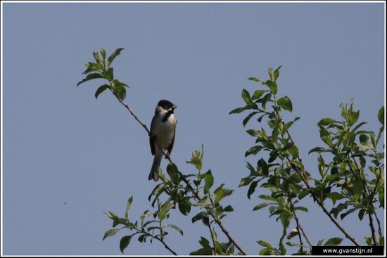 Vogels03 Onderdijk IMG_5411.jpg