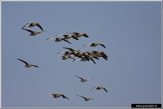 Vogels04 Grauwe ganzen<br><br>Onderdijk IMG_5451.jpg