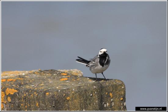 Vogels04 Witte kwikstaart<br><br>Den Oever IMG_5478.jpg