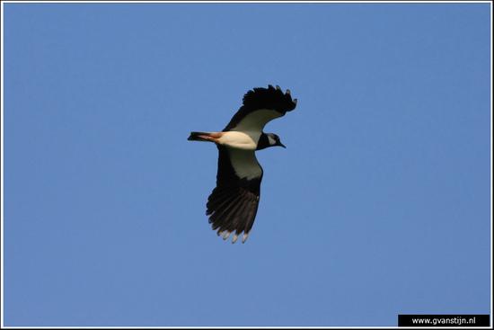 Vogels04 Kievit<br><br>Bobeldijk IMG_5510.jpg