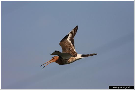 Vogels04 Grutto<br><br>Bobeldijk IMG_5546.jpg