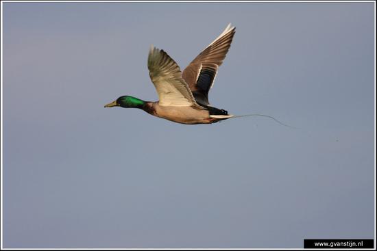 Vogels04 Wilde eend<br><br>Bobeldijk IMG_5560.jpg