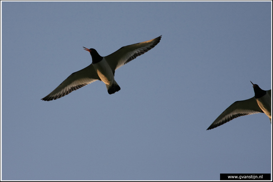 Vogels04 Herrie makende scholeksters<br><br>Schellinkhout IMG_5613.jpg