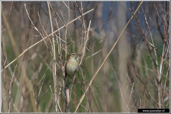 Vogels04 Onderdijk IMG_5704.jpg
