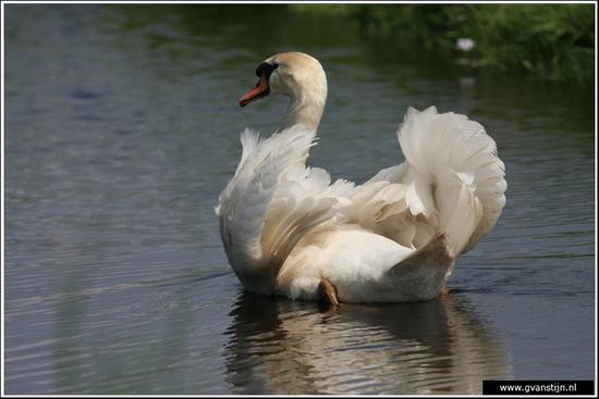 Vogels04 Wilde zwaan<br><br>Amsterdamse Bos IMG_5824.jpg