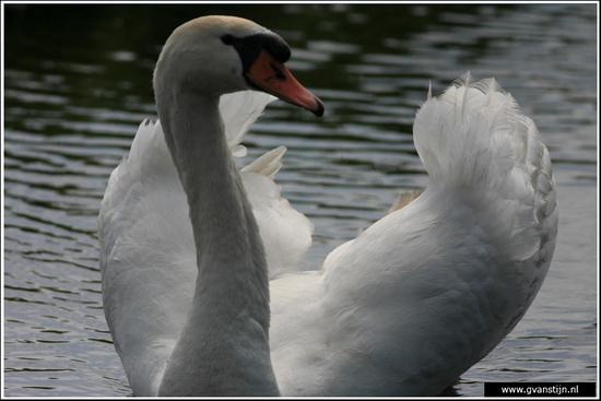 Vogels04 Wilde zwaan<br><br>Amsterdamse Bos IMG_5826.jpg