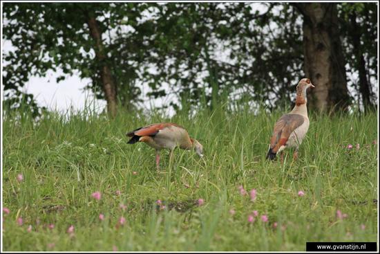 Vogels04 Nijlganzen<br><br>Oeverlanden Amstelveense Poel IMG_5910.jpg