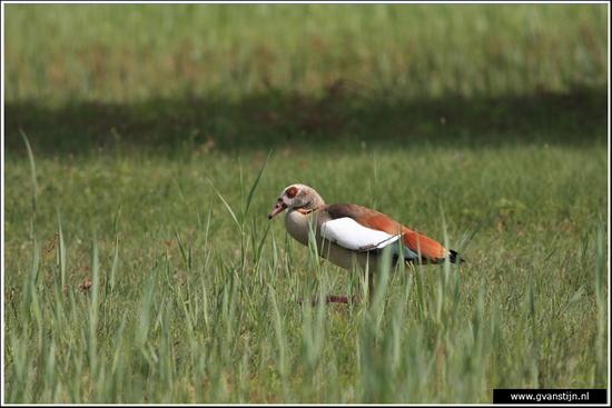 Vogels04 Nijlgans<br><br>Oeverlanden Amstelveense Poel IMG_5951.jpg