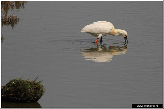 Vogels04 Lepelaar<br><br>Schellinkhout IMG_5999.jpg